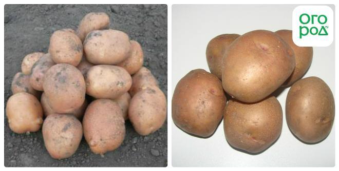 мода для семена картофеля устойчивыйк жукам каждым днем