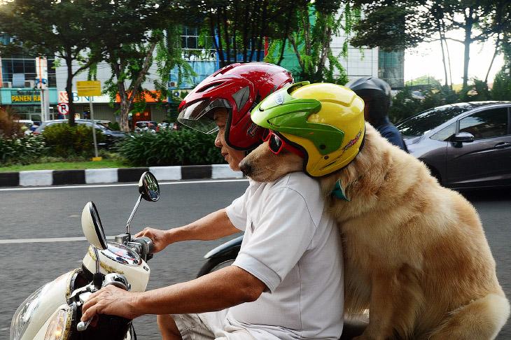 Псы-гонщики из Индонезии