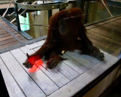 Орангутанов научили играть в…