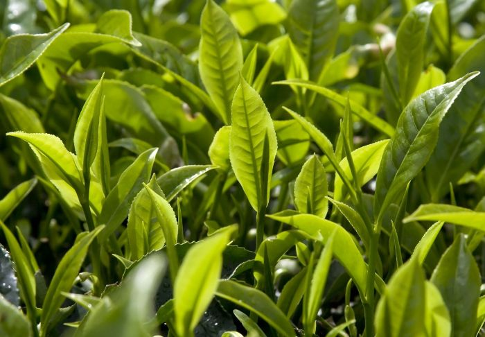 Как вырастить чай у себя в квартире