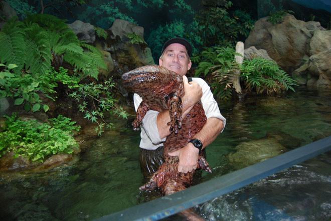 22. Китайская исполинская саламандра (Chinese giant salamander) животные, факты