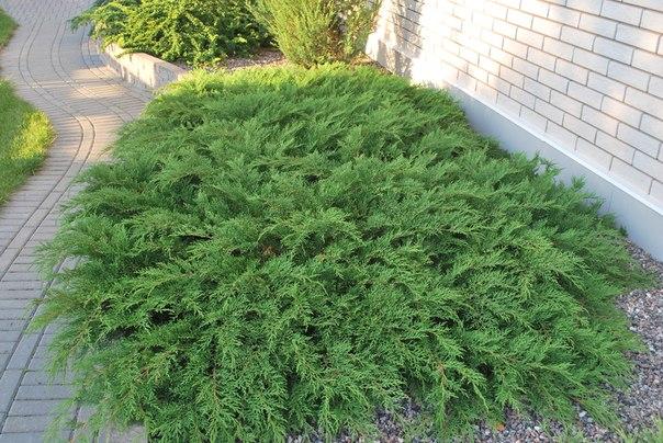МИКРОБИОТА — зеленое кружево в саду