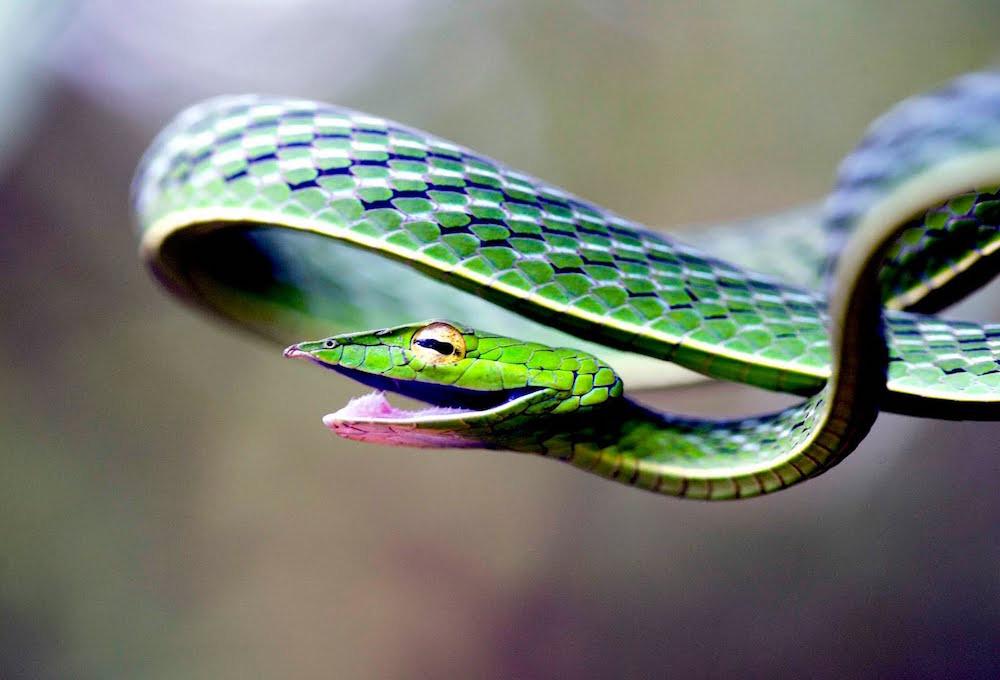 20. Травянисто-зелёная плетевидка — одна из самых красивых змей на Земле. люди, мир, удивительные фотографии