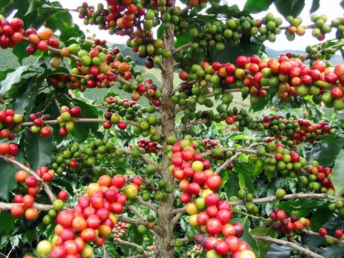 Ягоды, меняющие свой цвет по мере созревания с зеленого на красный, а затем на темно-малиновый.