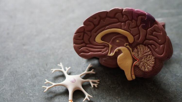 Есть ли пол у нашего мозга?