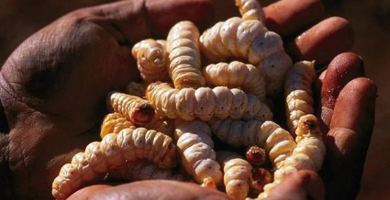 7. Австралия: личинки витчетти в мире, еда