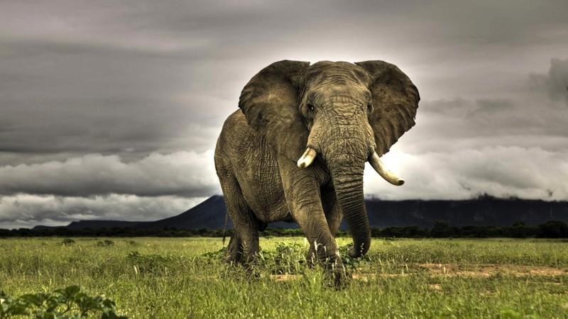 8. Слон. животные, опасные животные