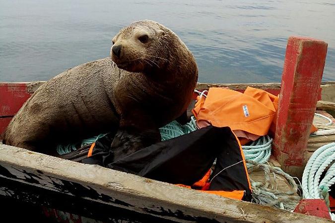 Чтобы не быть съеденным хищником, ластоногий зверь восемь часов катался в моторном кунгасе по Охотскому морю