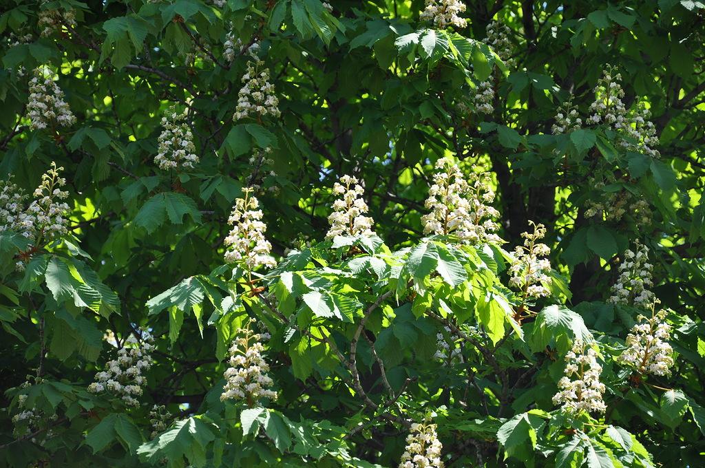 Цветёт каштан в Донецке в мае.