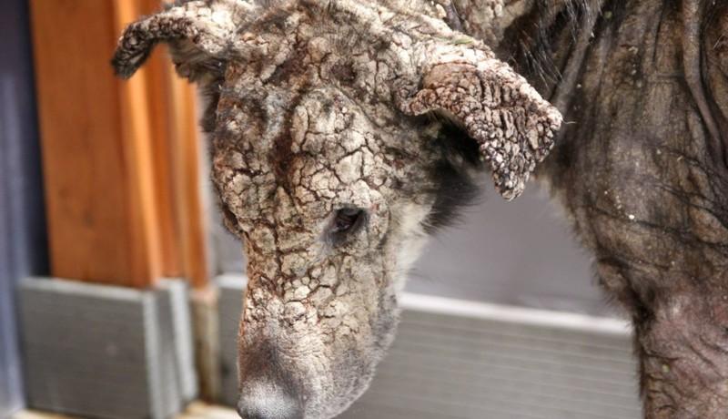 Омертвевшая кожа слетала с этой собаки клочьями... Но только взгляни на нее сейчас!