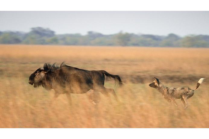 Гиеновидная собака охотится на самую слабую в стаде гну