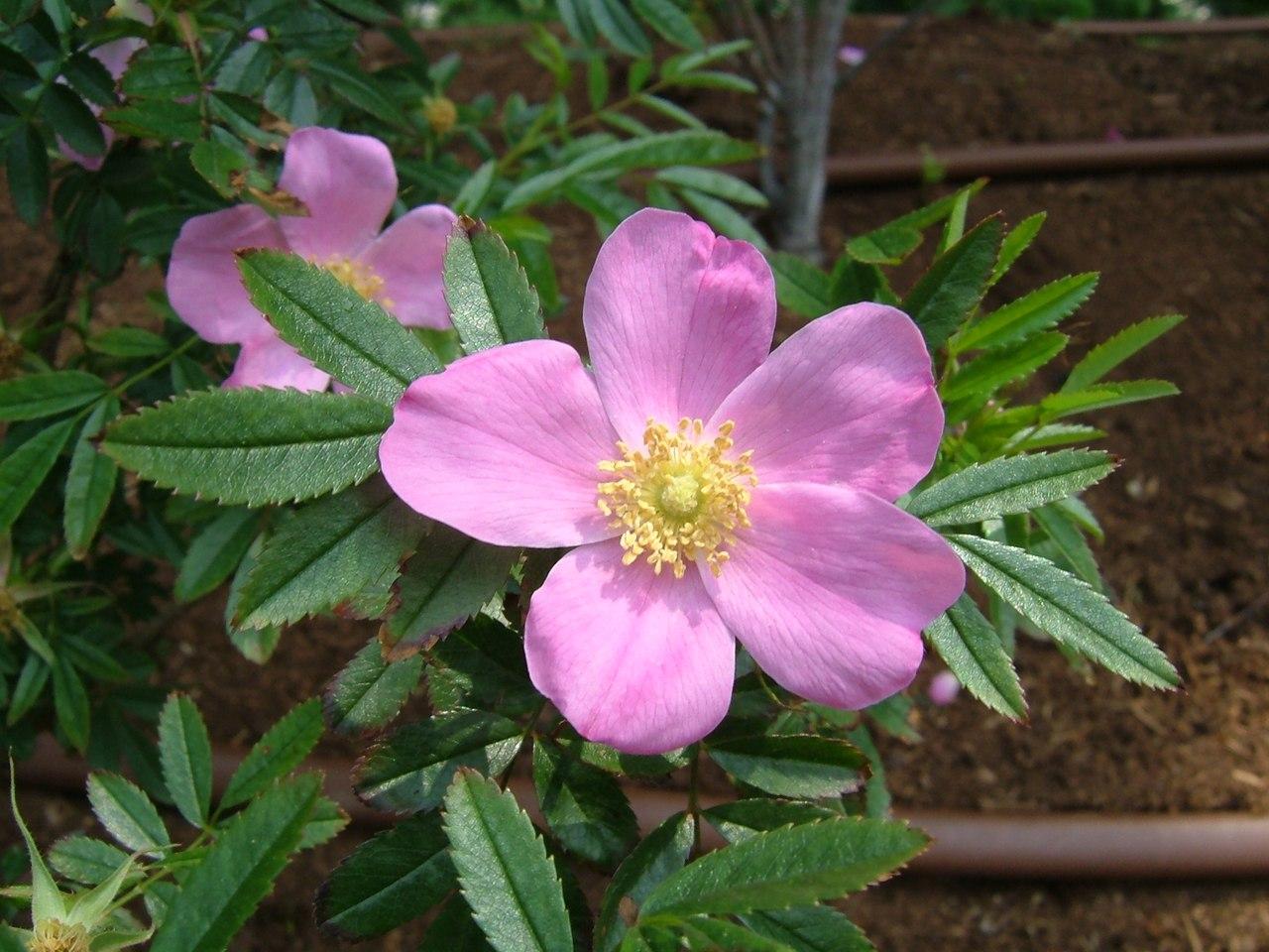 Шиповник блестящий (Rosa nitida)