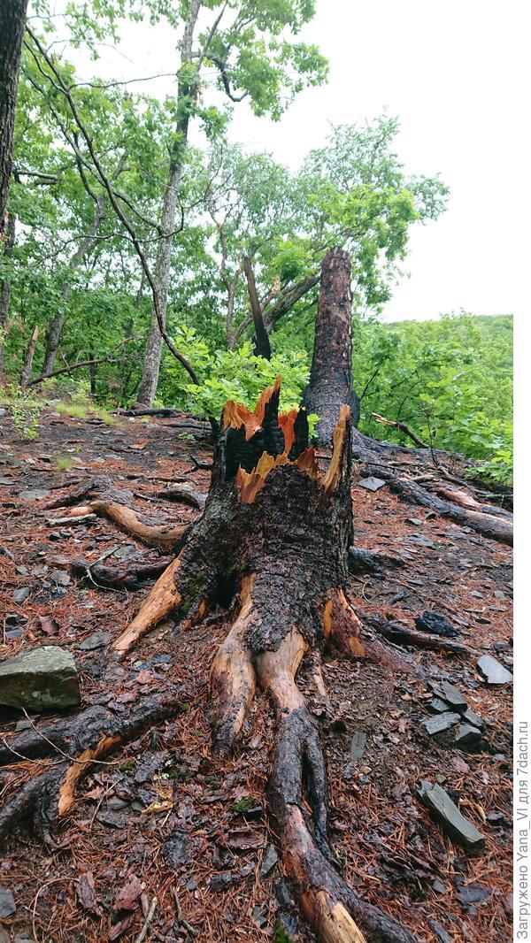 В лесу видны следы давних пожаров.