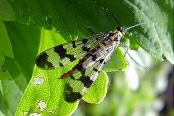 Малинная стеблевая муха – мерзавка, с которой нужно бороться