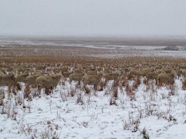 На этом фото 500 овец. Вы их видите?