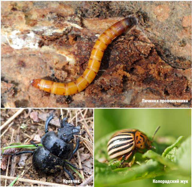 колорадский жук проволочник