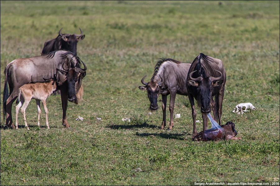 Как рожают антилопы в дикой природе
