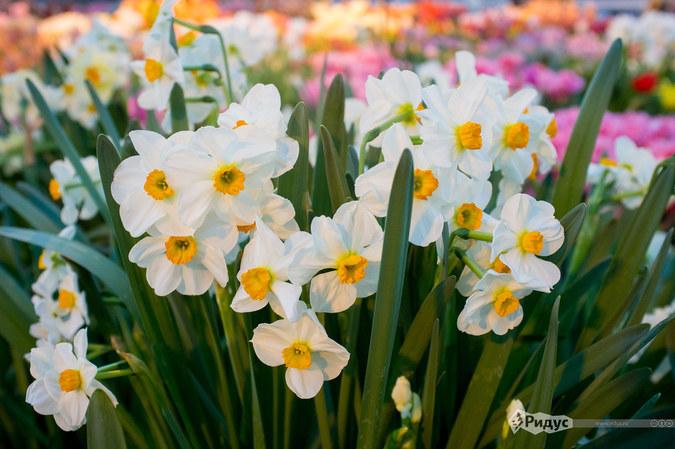 Как цветут в Москве первоцветы