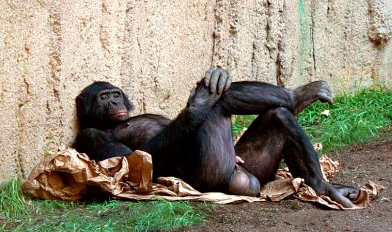 Полоовой член гориллы