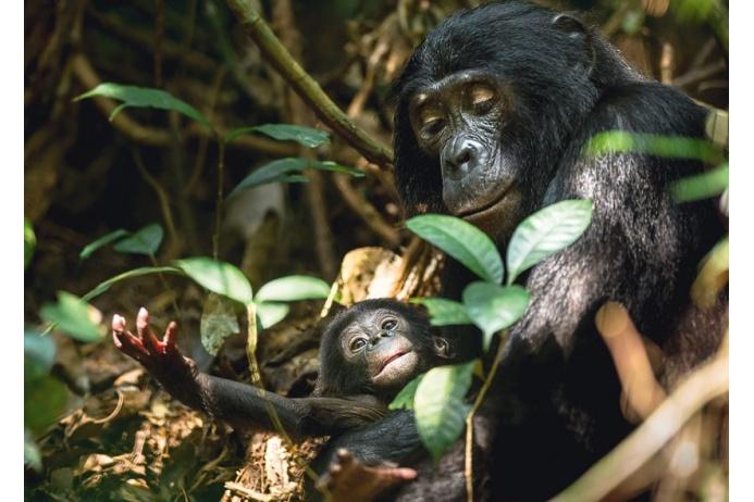 Самка карликового шимпанзе держит в лапах детеныша. Фотографу Тео Веббу пришлось долго ждать подходящего момента для съемок из-за плохого освещения и плотной растительности