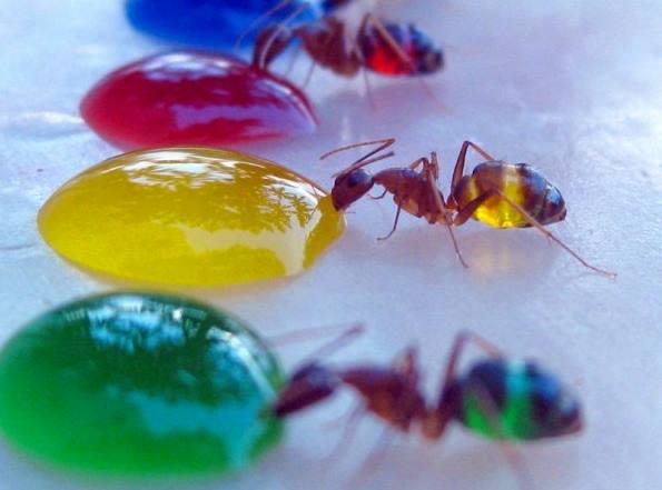 А вы видели цветных муравьев?