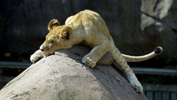 Cucciolo di leone allo zoo dell'Oregon.  Foto d'archivio