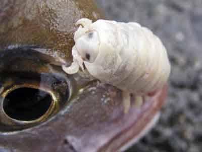 10 самых изобретательных паразитов