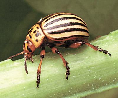 Подстава для колорадского жука