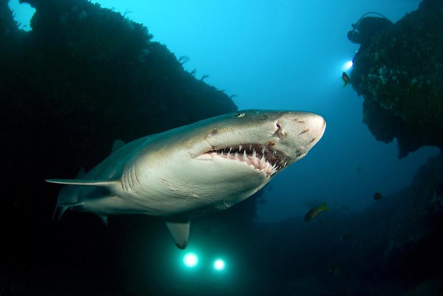 1. Обыкновенная песчаная акула (Sand tiger shark) животные, факты