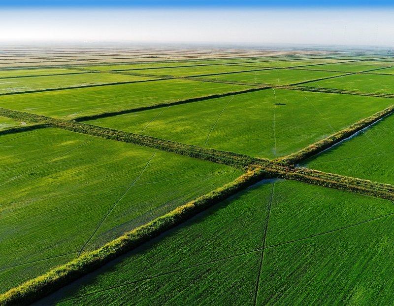Как выращивают рис в России …