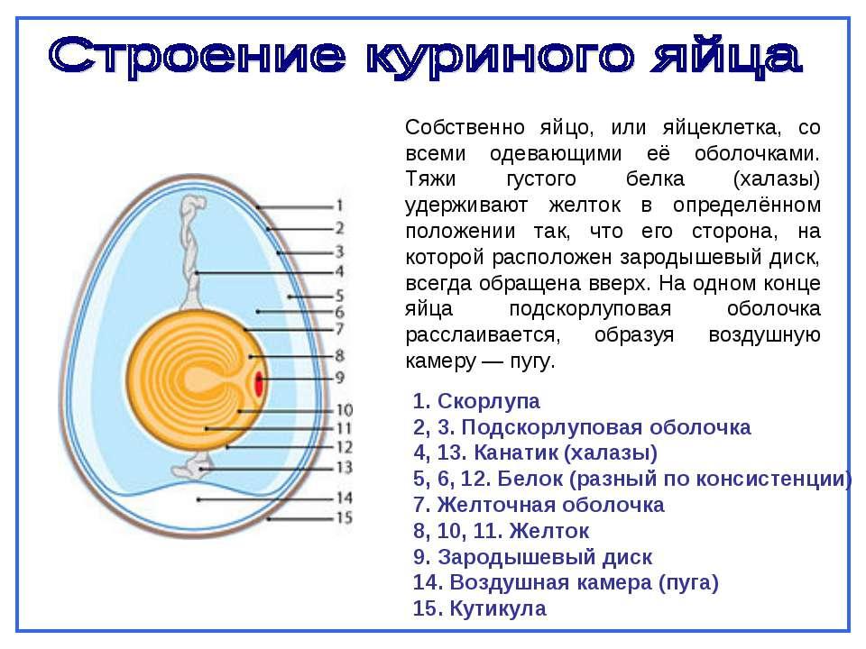 Презентация проекта а прочно ли куриное яйцо?