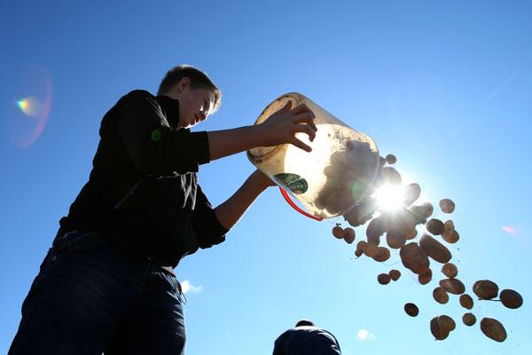 Цены на картофель упадут из-за высокого урожая