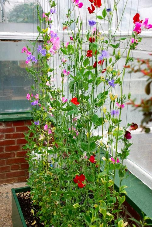 Лианы для сада: апофеоз вертикального озеленения.