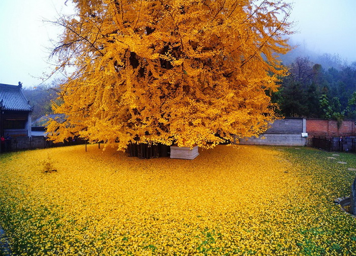 Необыкновенная красота священного дерева гинкго, возраст которого - 1400 лет!