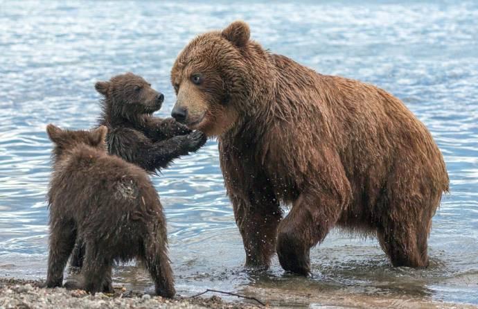 Медвежата со своей мамой на Курильском озере Курильское озеро, медведи