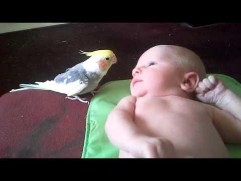Родители запечатлели на камеру как попугай поет колыбельную их малышу.
