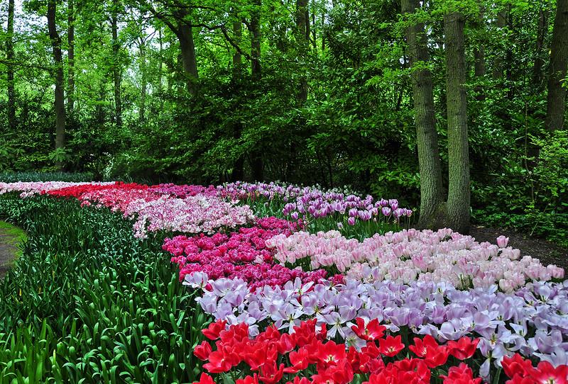 Нежные тюльпаны стелются ковром