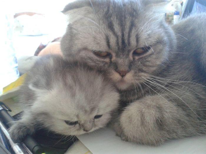 46. Два пушистика котенок, кошка