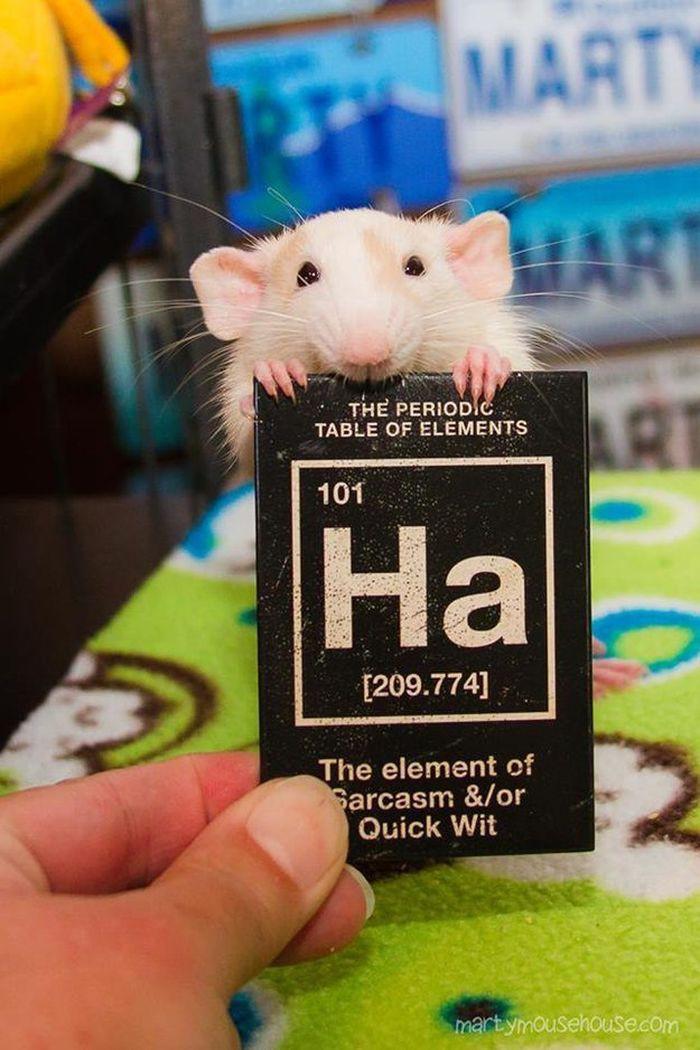 У них совсем нет чувства юмора животные, крыса, милота, позитив