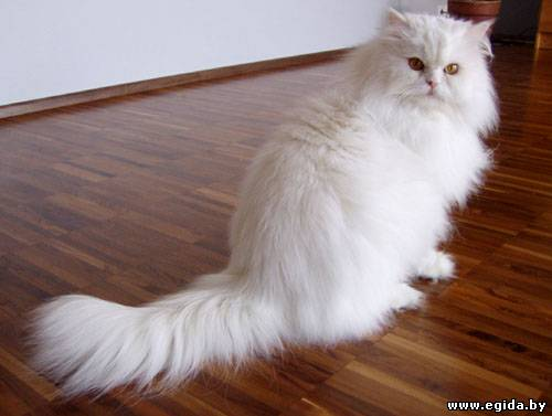 Кошка-иностранка