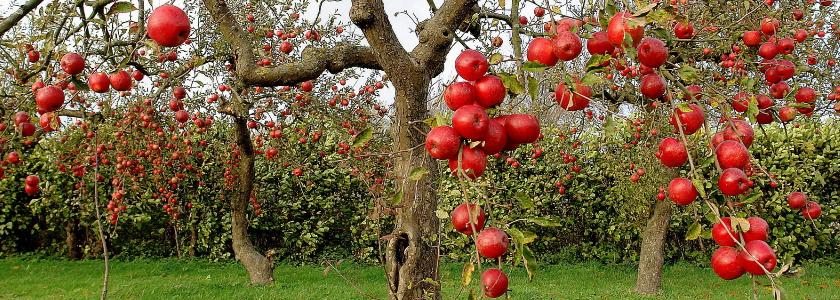 Заставляем плодоносить старую яблоню