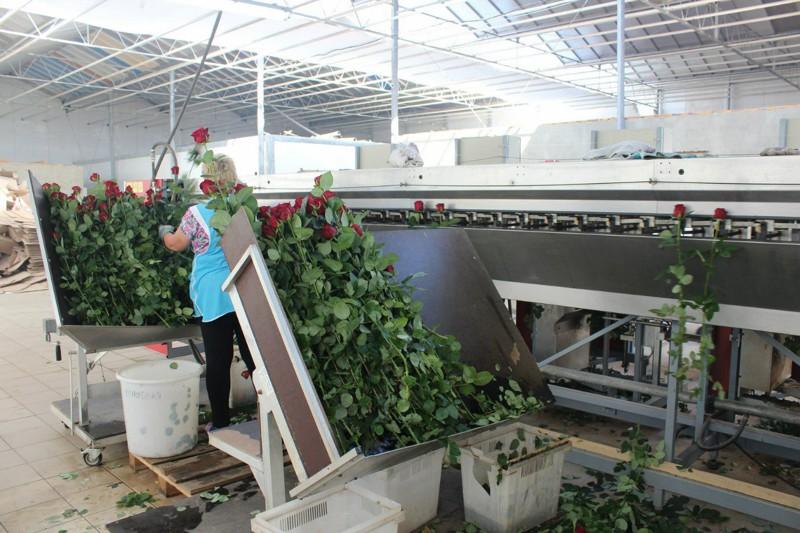 Как выращивают розы в России