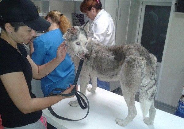 В Краснодаре спасли изуродованную живодерами собаку хаски.