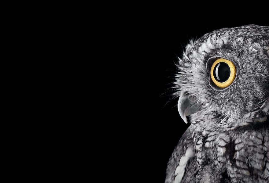 Западная малая ушастая сова портрет, сова