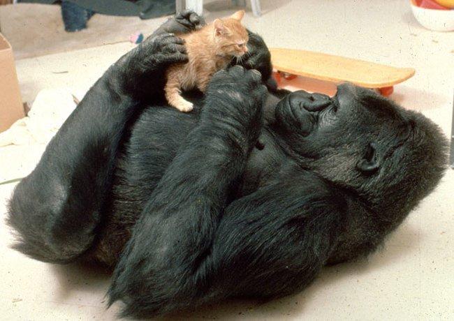 горилла и котенок