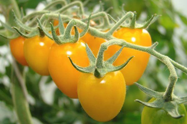 Картинки по запросу помидоры под дождем