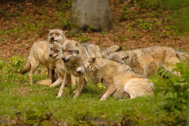 В Приамурье расплодились волки