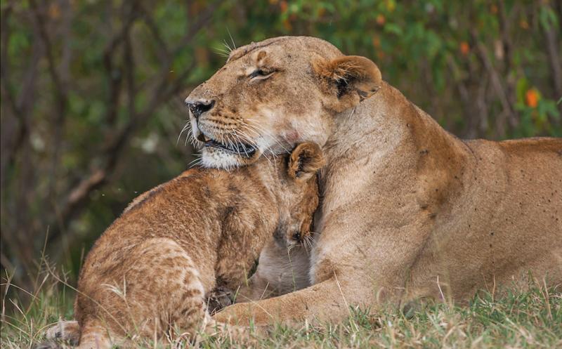 Львица спасает детёныша