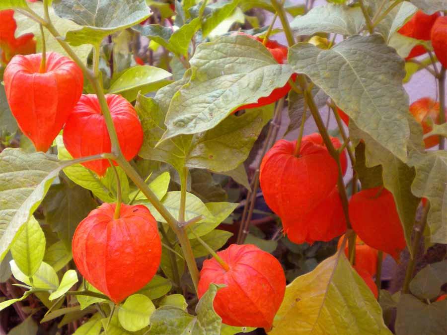 Физалис: описание видов и сортов, технология выращивания из семян
