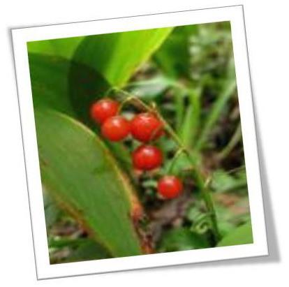 Ядовитые растения Подмосковья подмосковье, растения, ядовитые